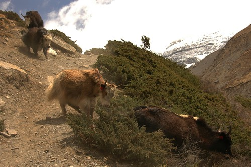 Yaks on the Run - Annapurna Circuit, Nepal