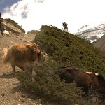 Yaks on the Run - Annapurna Circuit, Nepal