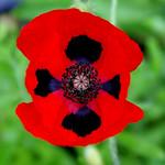 Foto: Klaproos 'Ladybird'