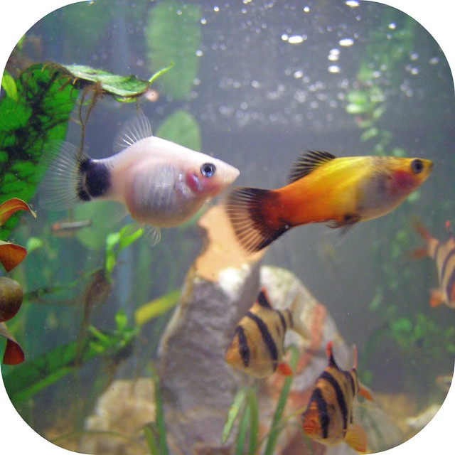 Picture Of Pregnant Platy 67