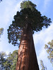 Giant Sequoia - Photo (c) A.Poulos (Iya), some rights reserved (CC BY)