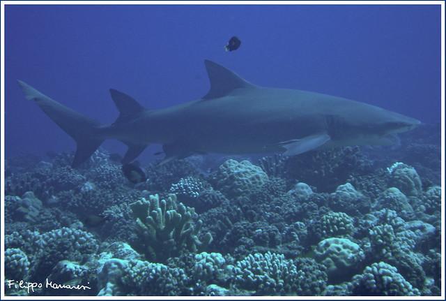 Lemon Shark Toys : On black lemon shark by filippo manaresi large