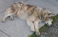 caucasian shepherd dog(0.0), pet(0.0), east siberian laika(0.0), sarplaninac(0.0), animal(1.0), canis lupus tundrarum(1.0), west siberian laika(1.0), dog(1.0), czechoslovakian wolfdog(1.0), gray wolf(1.0), eurasier(1.0), norwegian elkhound(1.0), greenland dog(1.0), wolfdog(1.0), saarloos wolfdog(1.0), native american indian dog(1.0), alaskan malamute(1.0), carnivoran(1.0),