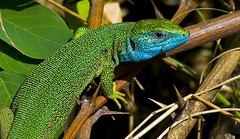 african chameleon(0.0), dactyloidae(0.0), animal(1.0), green lizard(1.0), reptile(1.0), lizard(1.0), green(1.0), fauna(1.0), lacerta(1.0), jungle(1.0), scaled reptile(1.0), chameleon(1.0), wildlife(1.0),