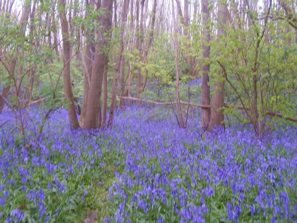 Bluebells Yalding to Borough Green