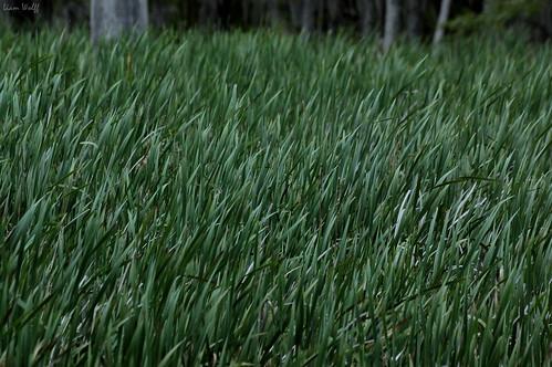 ga reeds georgia nikond70 augustaga phinizyswampnaturepark sigmaaf70300mmf456apodgmacrolens