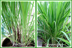 Cymbopogon citratus (Lemongrass, Barbed Wire Grass, Citronella Grass) in our garden - May 29 2011: a collage showing potted and ground-grown plants