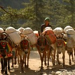 Morning Mule Train - Annapurna Circuit, Nepal