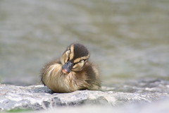 Napping duckling