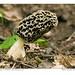Morel (Morecella spp.), Bruce Trail, Halton Region, Ontario, Canada