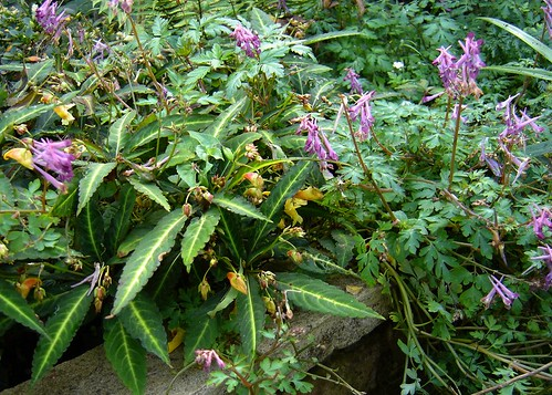 Impatiens omeiana & Corydalis Blackberry Wine