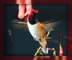 HUMMINGBIRDS IN ACTIONS