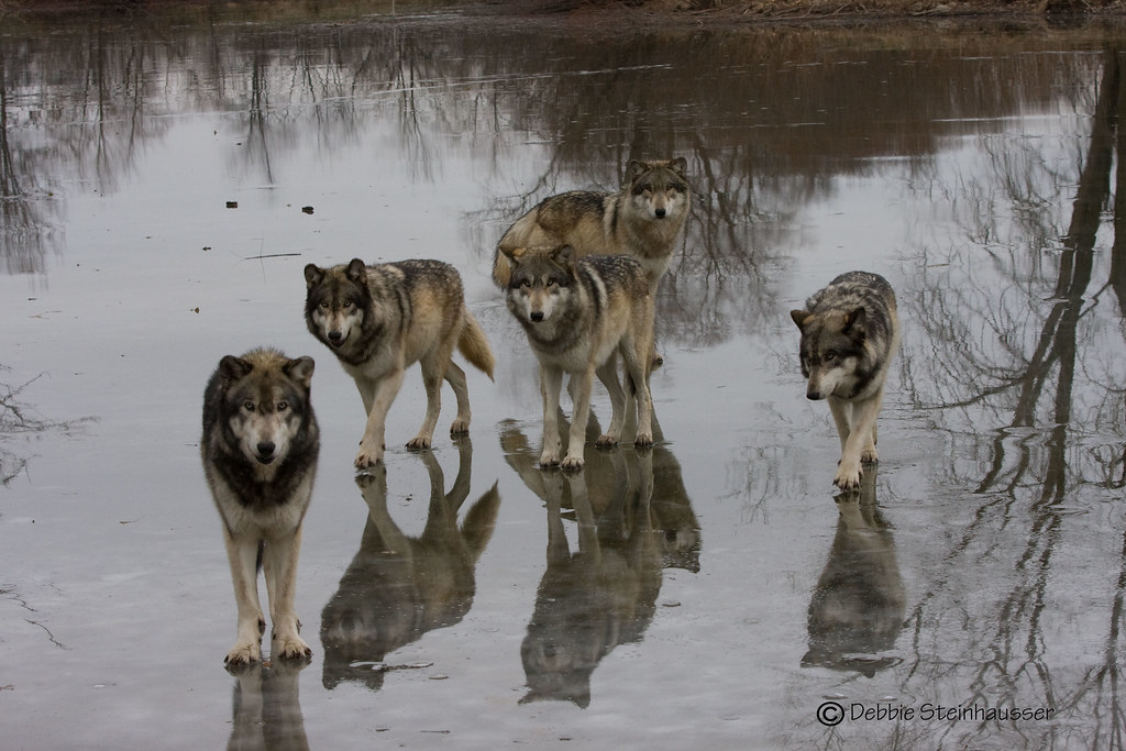 Wolf Pack