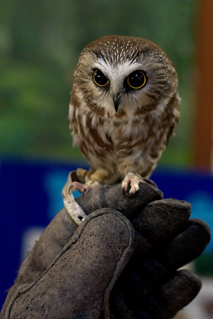 Northern Saw Whet Owl Flickr Photo Sharing