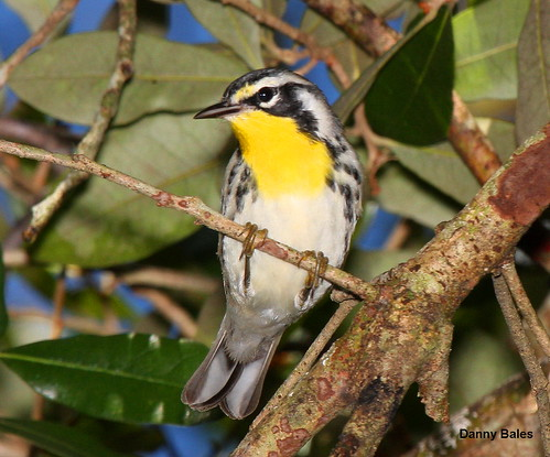 YELLOW-THROATED WARBLER 6050