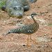 Sunbittern - Photo (c) Cláudio Dias Timm, some rights reserved (CC BY-NC-SA)