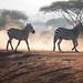 Zebra Crossing by altsaint