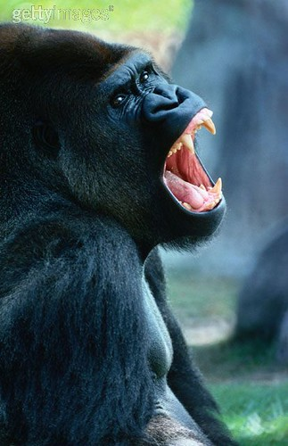 Gorilla Angry - photo#14