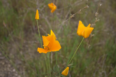 eschscholzia californica, flower, yellow, wildflower, flora, poppy,
