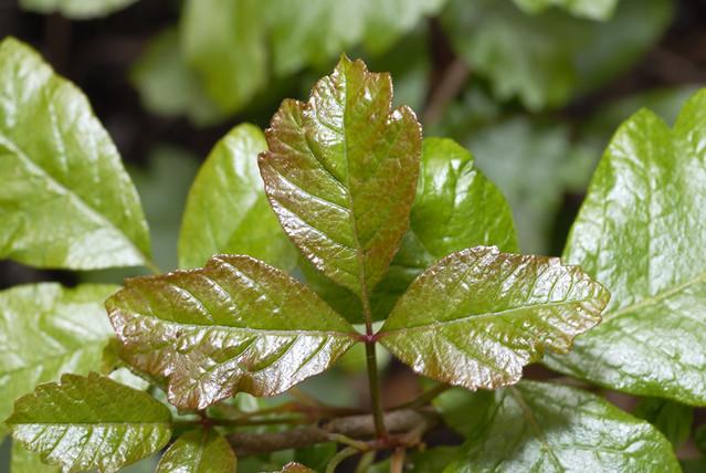 Identifying Poison Ivy, Poison Oak and Poison Sumac ...