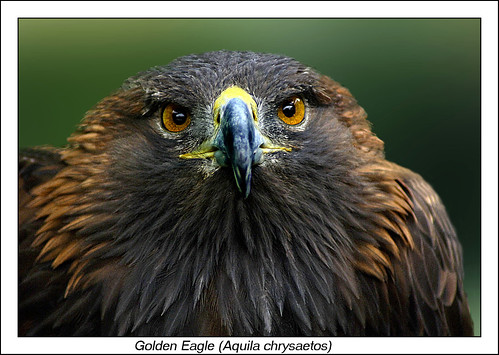 Golden Eagle at Thorpe Perrow, England.