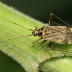 Closterotomus fulvomaculatus