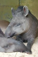 animal, head, tapir,