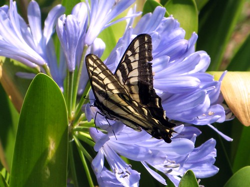 tiger swallowtail on agapanthus