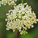 water hemlock - Photo (c) Jerry Oldenettel, some rights reserved (CC BY-NC-SA)
