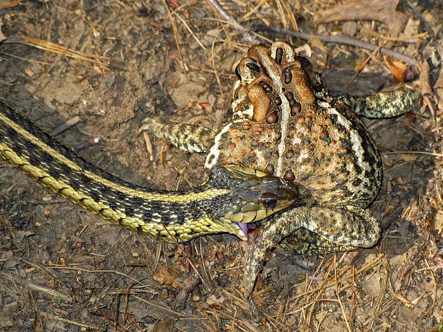 It 39 S A Snake Eat Toad World Flickr Photo Sharing