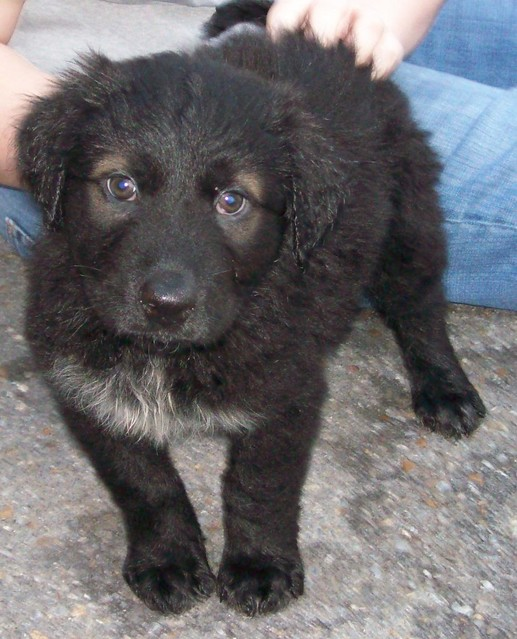 Two Lab/Newfoundland (?) Mix Puppies | Flickr - Photo Sharing!
