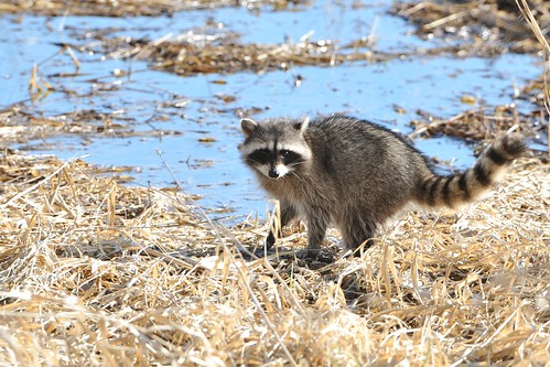 Raccoons at the Refuge~