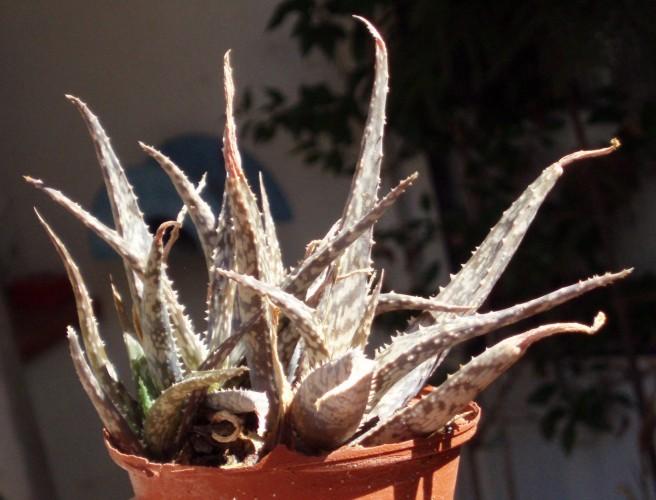 Aloe rauhii 5774205311_6c40ff7ba6_o