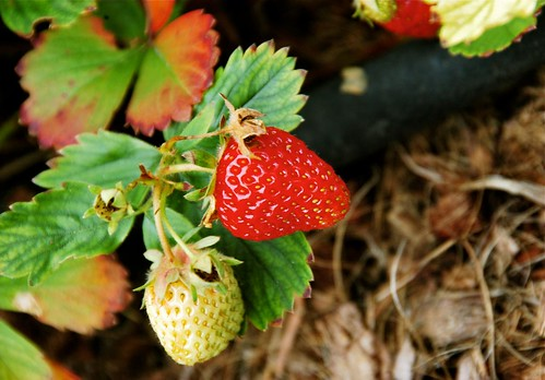 Garden freshness - yummy strawberries