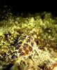 Blue Ringed Octopus genus Hapalochlaena