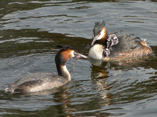 Great Crested Grebe parents & chicks on Greenland Dock