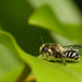 I'm off- mason bee on leaf
