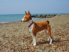 dog sports(0.0), animal sports(0.0), sports(0.0), norwegian lundehund(0.0), dog breed(1.0), animal(1.0), dog(1.0), pet(1.0), mammal(1.0), podenco canario(1.0), ibizan hound(1.0), basenji(1.0),