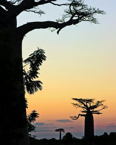 "africa sunset wild sky tree nature colors island madagascar baobab bej mywinners abigfave morondova anawesomeshot aplusphoto platinumheartaward ibondeiro platinumpeaceaward ""flickraward5"" mygearandme mygearandmepremium mygearandmebronze mygearandmesilver mygearandmegold mygearandmeplatinum ""flickrawardgallery"""