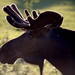 Moose - Wildlife