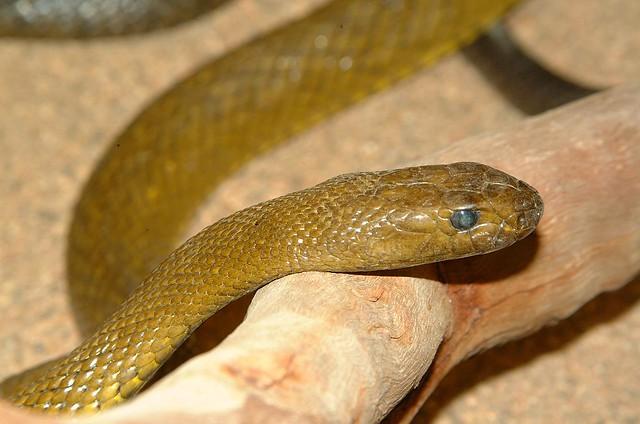 Inland Tiapan or Fierce Snake (Oxyuranus microlepidotus