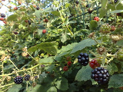 blackberry, shrub, berry, flower, red mulberry, plant, wine raspberry, produce, fruit, food, dewberry, bramble,