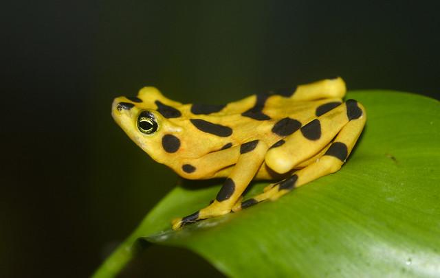Atelopus frog poisonous - photo#8