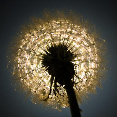 sun ontario canada macro nature canon dandelion richmondgreen richmondhill gettyimages s5is