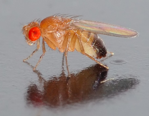 01 Drosophila melanogaster