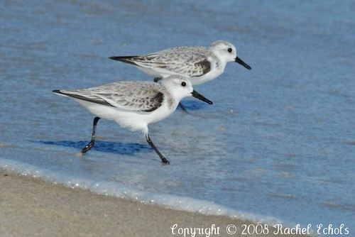 Winter Plumage Sanderlings