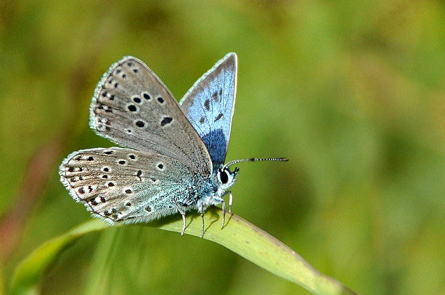 Large Blue butterfly (Maculinea arion), Cotswolds.