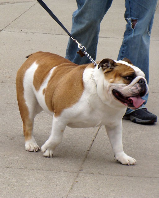 2008 Drake Relays Most Beautiful Bulldog Contest | Flickr - Photo ...