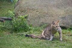 animal, small to medium-sized cats, mammal, lynx, fauna, wild cat, wildlife,
