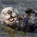 Southern Sea Otter by Ron Wolf
